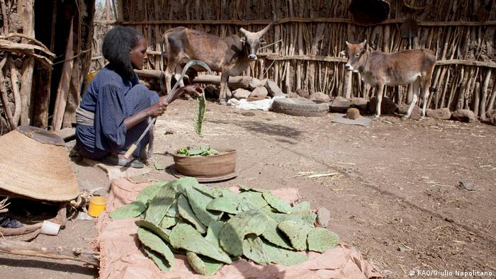 A woman sits on the ground in front of a pile of cactus leaves. Cows in the background