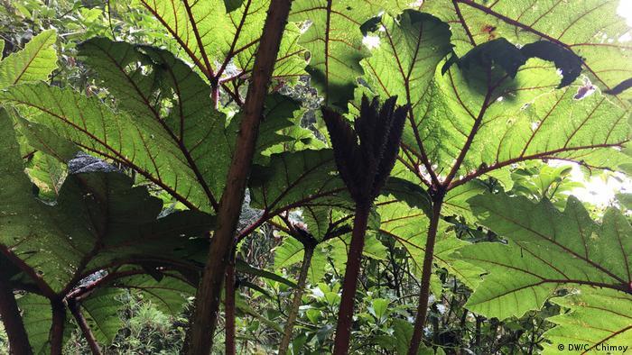 BG Humboldt - Vegetation in Podocarpus NationalPark, Ecuador (DW/C. Chimoy)