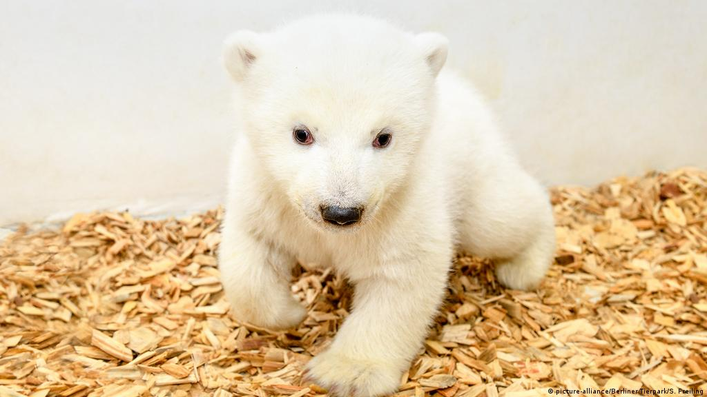 Berlin S Baby Polar Bear It S A Girl News Dw 15 02 2019