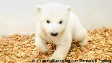 The baby girl polar bear (picture-alliance/Berliner Tierpark/S. Freiling)