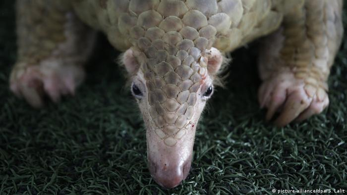 Thailand Illegaler Handel vom Schuppentier Pangolin (picture-alliance/dpa/S. Lalit)