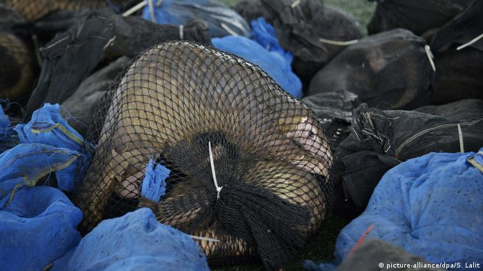 A pangolin tied up in a mesh net in a pile of illegally trafficked wildlife.