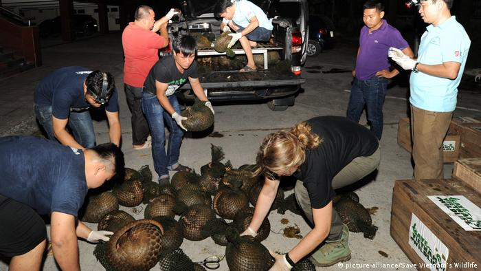 Bedrohte Schuppentiere in Vietnam gerettet Pangolin (picture-alliance/Save Vietnam's Wildlife)