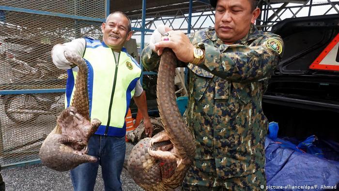 Tierschmuggel in Malaysia Pangolin (picture-alliance/dpa/F. Ahmad)