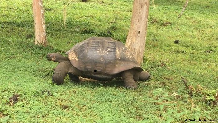 Las tortugas gigantes de Galápagos están amenazadas. Especialmente las que fueron introducidas por el hombre se comen a las más jóvenes. Las tortugas bebé son criadas en el centro de investigación Charles Darwin, y luego de cuatro años son llevadas de vuelta a las islas de las cuales provienen, ya que son lo suficientemente grandes como para sobrevivir.