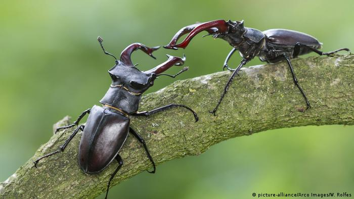 Two stag beetles