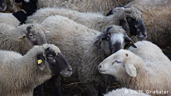 Flock of Alpine Stone Sheeps