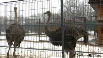 В Межигорье можно встретить и страусов
