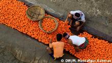 Bangladesch - Karottenernte in Manikganj
