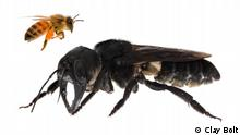 Megachile pluto Biene (Clay Bolt )