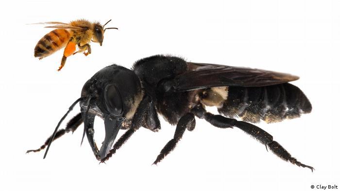 Megachile pluto bee (Clay Bolt)