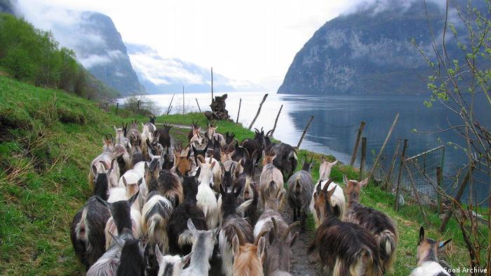 A herd of goats beside a fjörd