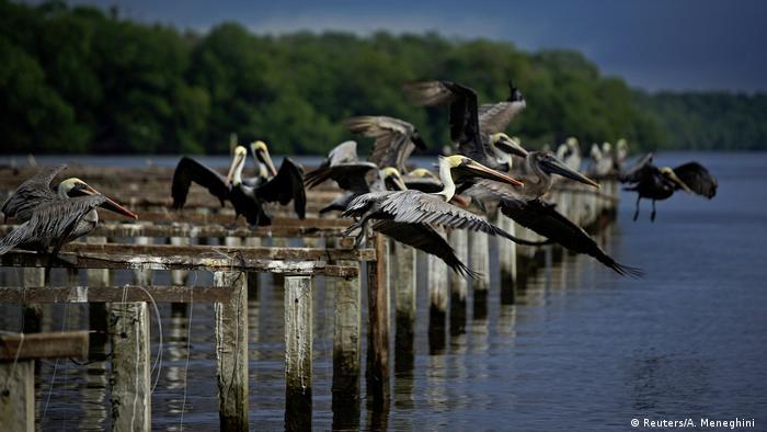 Pelikane (Foto: Reuters/A. Meneghini )