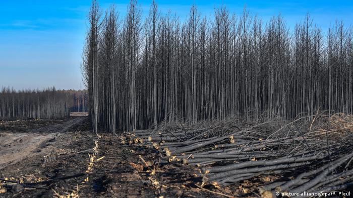 Post-wildfire salvage logging in forest southwest of Berlin