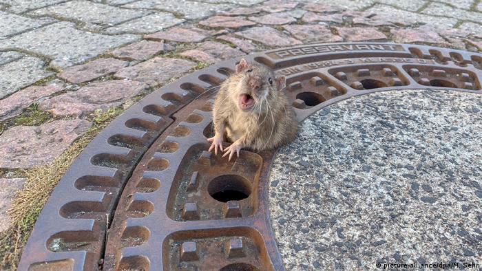A rat stuck in a manhole cover