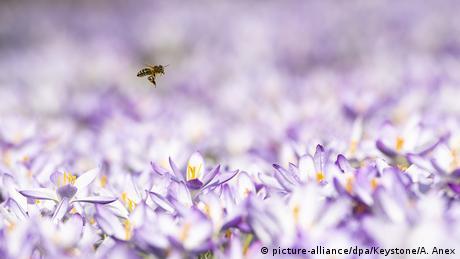 Bild des Tages | Schweiz | Biene fliegt über Krokussen | Wetter in Bern (picture-alliance/dpa/Keystone/A. Anex)