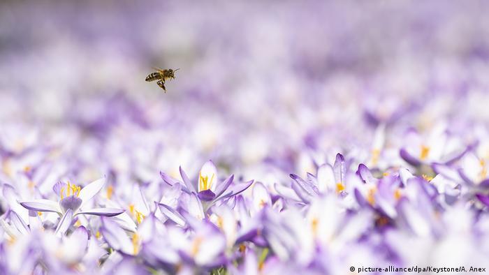 Bild des Tages   Schweiz   Biene fliegt über Krokussen   Wetter in Bern (picture-alliance/dpa/Keystone/A. Anex)