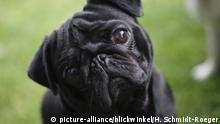 Black pug tilting its head (picture-alliance/blickwinkel/H. Schmidt-Roeger)