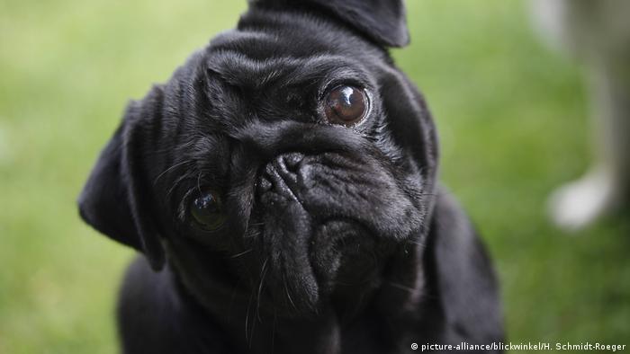 Black pug tilting its head