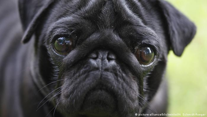 German City Seizes Pug Sells It On Ebay News Dw 28022019