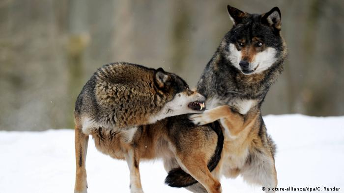 She-wolf Lena snaps at her mate Erik (picture-alliance/dpa/C. Rehder )