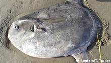 Ein zwei Meter großer scheibenförmiger Mola tecta, ein seltenes Mitglied der Familie der Mondfische, liegt an einem Strand in Kalifornien.
