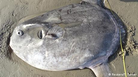 A hoodwinker sunfish lies dead on a beach in California - it is 2 meters long and flat, shaped like a disc