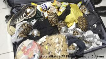 Turtles that were intercepted at Manila's Ninoy Aquino International Airport after being found hidden inside four suitcases