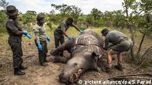 ARCHIV - 04.02.2015, Südafrika, Skukuza: Arbeiter der Ermittlungsstelle für Umweltkriminalität von den SANParks führen im Kruger National Park Skukuza eine Untersuchung an einem Nashorn durch, das wegen seiner Hörner getötet wurde. (Zu dpa «Wilderer in Südafrika töten weniger Nashörner» vom 14.02.2019) Foto: Salym Fayad/EPA/dpa +++ dpa-Bildfunk +++ |