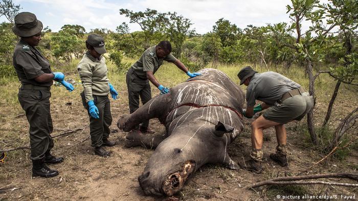 Rinoceronte abatido por cazadores furtivos.
