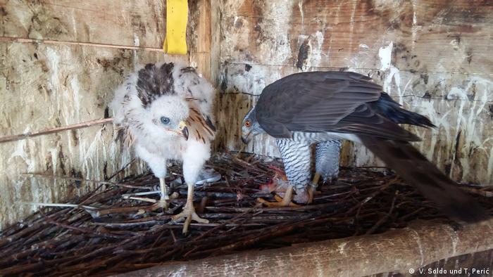 Bosnien-Herzegowina l Jagd mit Falken