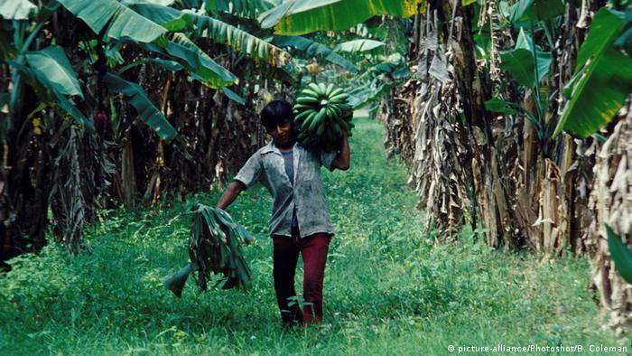 Mexiko Bananenernte in Veracruz