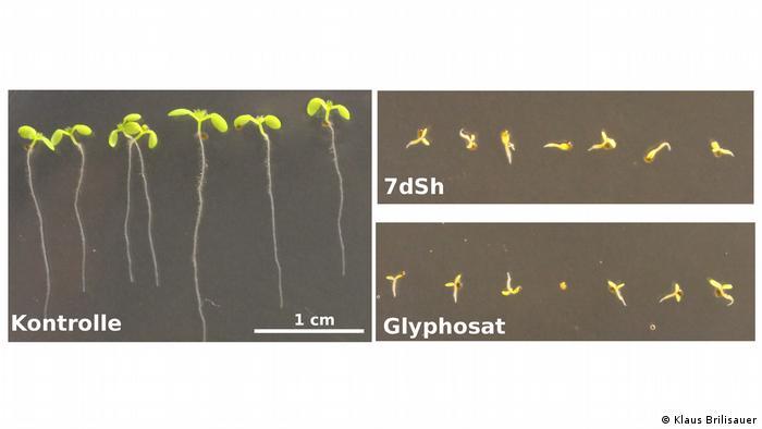 Zucker aus Cyanobakterien wirkt als natürliches Herbizid