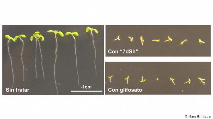 Zucker aus Cyanobakterien wirkt als natürliches Herbizid ES
