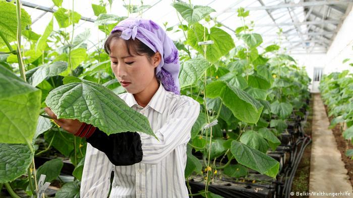 Nordkorea Arbeit im Gewaechshaus des Urban Agriculture Projekts