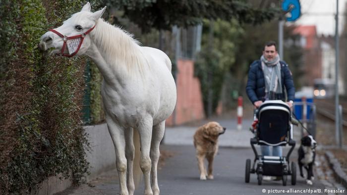 Jenny the Arabian mare snacking on garden shrubs during a morning stroll in Fechenheim