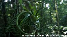 Skurriles Pflanzenwachstum im peruanischen Regenwald, Puerto Maldonado, Madre de Dios, Peru, Südamerika | Verwendung weltweit, Keine Weitergabe an Wiederverkäufer.