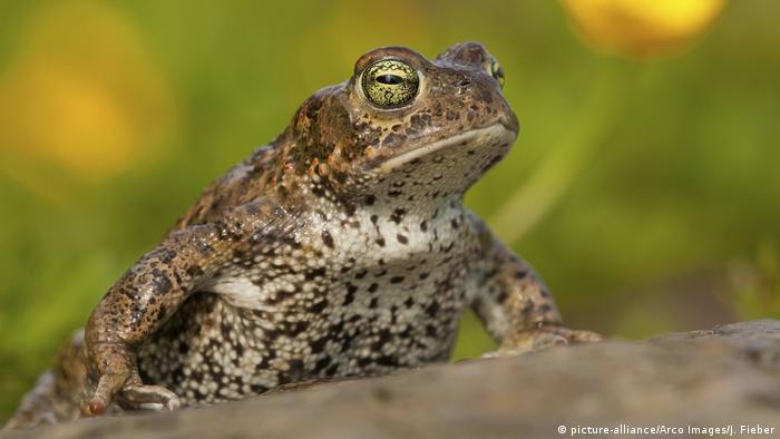 Die Kreuzkröte ist in Großbritannien vom Aussterben bedroht. Ein Zusammenschluss von Naturschutzorganisationen versucht jetzt gemeinsam sie und andere gefährdete Arten zu retten.