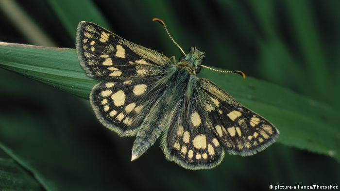 Der Gelbwürfeliger Dickkopffalter wurde vom britischen Naturschutzprojekt Back From the Brink in Northamptonshire wieder angesiedelt