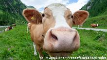 Österreich Alpen l Kühe
