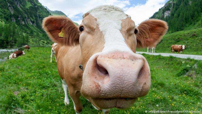 A close up of a cow in the Alps