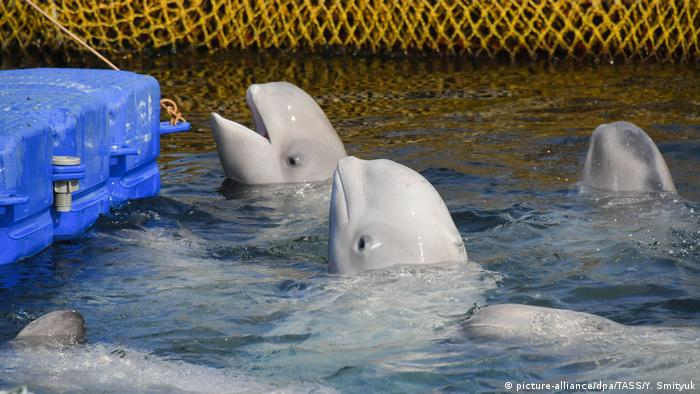 Captive beluga whales (picture-alliance/dpa/TASS/Y. Smityuk)
