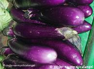 Bt brinjal put on hold in India