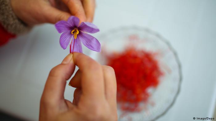 Шафран посевной (лат. Crocus sativus)