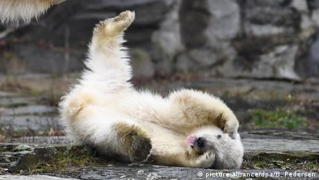 A polar bear cub rolls on the ground