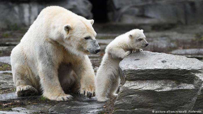 A polar bear cub and her mother at Berlin's Tierpark (picture-alliance/dpa/B. Pedersen)