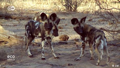 DW Eco Africa - saving the African wild dog in Zimbabwe