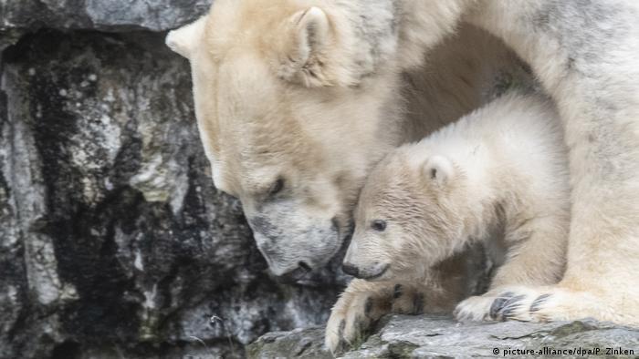 A ursa polar Tonja e seu filhote