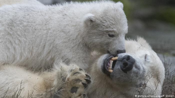 Tonja deitada no chão e a filhote sobe em cima da ursa polar