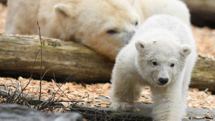 Hertha polar bear baby with mother in background (Imago/A. Hilse)